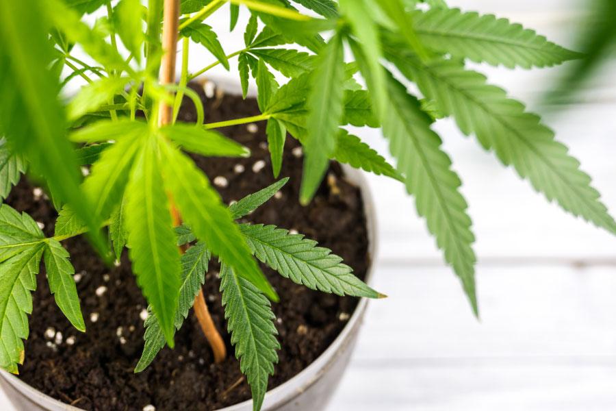 CBD cannabis strains